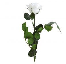 Dobozos örökrózsa - Fehér
